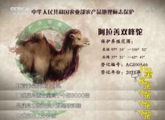 """新疆山地纯驼奶""""双峰壹号""""牵手【驼宝汇】健康国人"""
